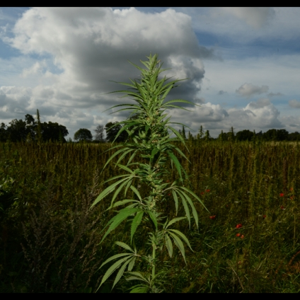 With 25,000 known applications, the hemp family is surely the most diversely useful of plants ever
