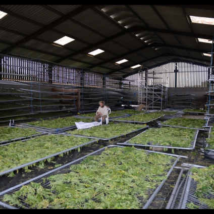 Made by hand: separating flowers from the stem, drying